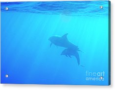 Dolphin Mother And Calf Acrylic Print by Sami Sarkis