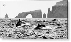 Dolphins At Anacapa Arch Acrylic Print by Steve Munch