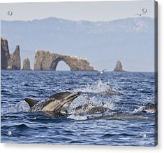 Dolphins With Arch Acrylic Print by Will Edwards