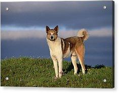 Domestic Dog Canis Familiaris, Taymyr Acrylic Print by Konrad Wothe