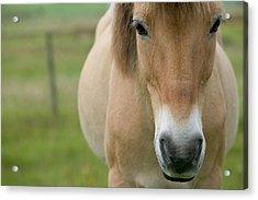 Domestic Horse Equus Caballus Portrait Acrylic Print by Cyril Ruoso