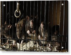 Domestic Rats At The George M. Sutton Acrylic Print by Joel Sartore