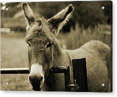 Donkey Acrylic Print by Dyker_the_horse_1976