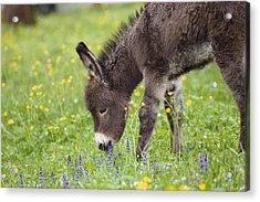Donkey Equus Asinus Foal Grazing Acrylic Print by Konrad Wothe