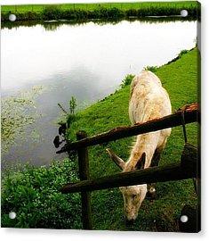 #donkey Grazing. #utrecht, #netherlands Acrylic Print