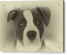 Don't Hate The Breed Acrylic Print