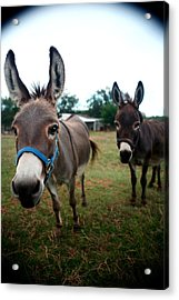 Acrylic Print featuring the photograph Doting Donkeys by Lon Casler Bixby