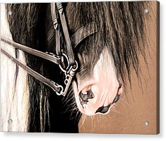 Double Bridle Acrylic Print by Caroline Collinson