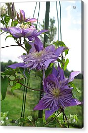 Acrylic Print featuring the photograph Double Clematis Named Crystal Fountain by J McCombie