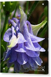 Acrylic Print featuring the photograph Double Columbine Named Light Blue by J McCombie