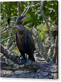 Double-crested Cormorant Acrylic Print by Michael Friedman