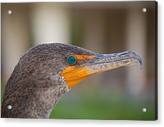 Double-crested Cormorant Acrylic Print by Rich Leighton