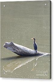Double-crester Cormorant Acrylic Print by Jack R Brock