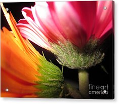 Double Delight Acrylic Print by Miss McLean