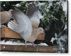 Dove On The Wing Acrylic Print