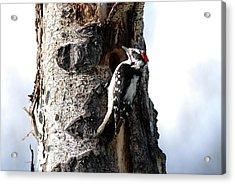 Downy Nest Construction Acrylic Print