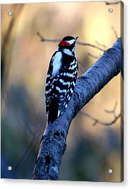 Acrylic Print featuring the photograph Downy Woodpecker by Elizabeth Winter