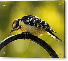 Downy Woodpecker Up Close 3 Acrylic Print by Bill Tiepelman