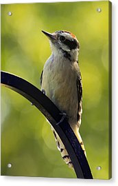 Downy Woodpecker Up Close Acrylic Print by Bill Tiepelman