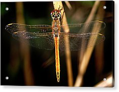 Acrylic Print featuring the photograph Dragon Fly 1 by Pedro Cardona