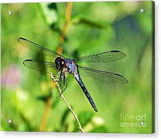 Acrylic Print featuring the photograph Dragon Fly  by Eve Spring