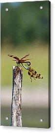 Dragon Fly Love Acrylic Print by Kelly Rader