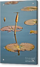 Acrylic Print featuring the photograph Dragonfly And Lotus by Luciano Mortula
