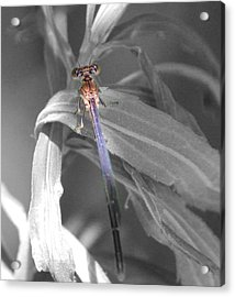 Acrylic Print featuring the photograph Dragonfly Bw With Color by Peter Ciro