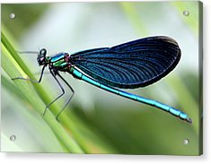 Dragonfly Acrylic Print by Charlotte Therese Bjornstrom