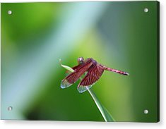 Dragonfly Acrylic Print by Gonca Yengin
