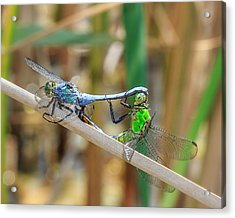 Dragonfly Love Acrylic Print by Everet Regal