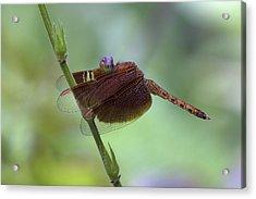 Dragonfly On A Leaf Acrylic Print by Zoe Ferrie