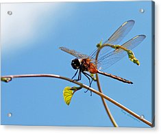 Dragonfly On A Vine Acrylic Print