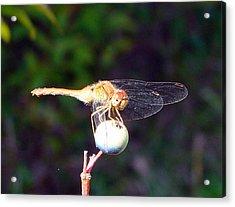 Dragonfly On Sphere Acrylic Print by Mark Haley