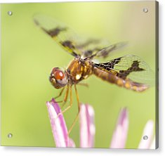 Dragonfly On Tip Of Cornflower Acrylic Print by Daphne Sampson