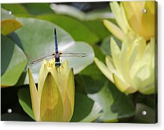Dragonfly On Yellow Waterlily Bud Acrylic Print by Becky Lodes