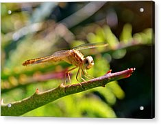 Acrylic Print featuring the photograph Dragonfly by Werner Lehmann
