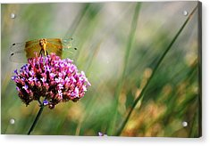 Acrylic Print featuring the photograph Dragonfly Wings by Amee Cave