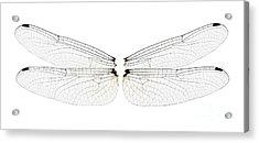 Dragonfly Wings Acrylic Print by Raul Gonzalez Perez