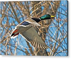Acrylic Print featuring the photograph Drake In Flight by Stephen  Johnson