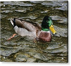 Acrylic Print featuring the photograph Drake On River by Gregory Scott