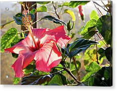 Drama In The Hibiscus World Acrylic Print