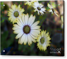 Dream Daisy Acrylic Print