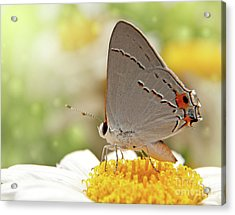 Dreamy Hairstreak Butterfly Acrylic Print