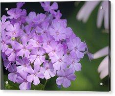 Dreamy Lavender Phlox Acrylic Print by Teresa Mucha