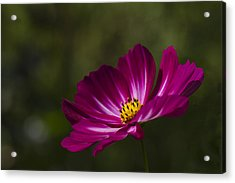 Dreamy Pink Cosmos Acrylic Print by Clare Bambers