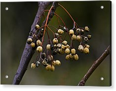 Dried Fruits Acrylic Print by Tal Richter