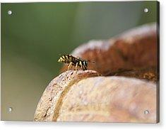 Drinking Bee Acrylic Print