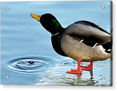 Drinking Duck Acrylic Print