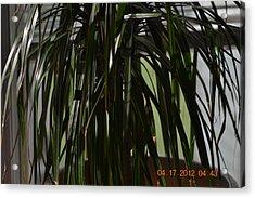 Drooping Tree Leaves Acrylic Print by Heidi Frye